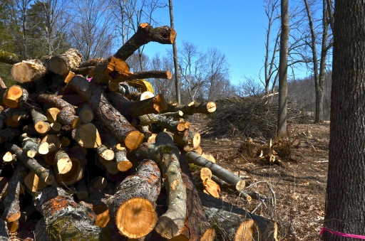 The oak, cherry, and hickory logs are piled high in front of the brush piles and the stumps.
